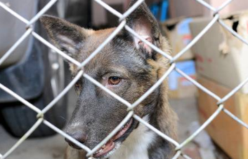 Dog behind chain link fence
