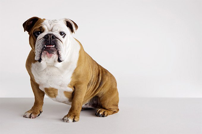 everything you need to know about the english bulldog
